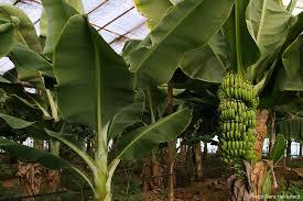 bananen plantage alanya